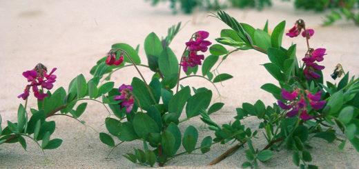 Merinätkelmä kukkii Laatokalla kaikkialla ja myös Kannaksen rannoilla. Tämän lempikasvikseen nimittämän merinätkelmän Siilahti on kuvannut Vätikän Kojonsaaressa.
