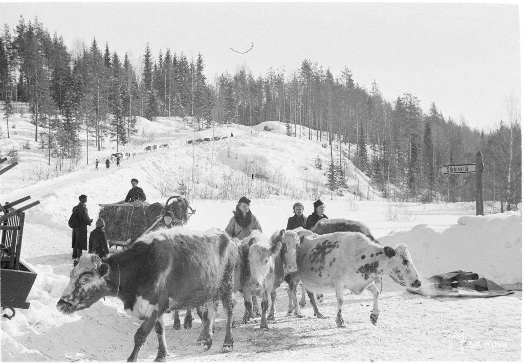 Lehmien evakuointia Särkisyrjässä maaliskuussa 1940. SA-kuva