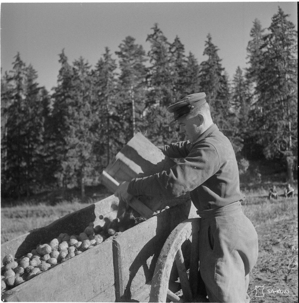 Venäläisten sotavankien työpanos maataloustöissä oli tärkeä suomalaisten miesten ollessa rintamalla. Venäläinen vankin perunan nostossa. SA-kuva